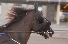 Norske Lome Hero blir favoritt i V4-1 i dag (foto: hesteguiden.com)