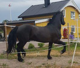 Trons Vilje er en staselig type som har funnet seg godt til rette hos familien Johnsen i Hvittingfoss (privat facebookbilde)