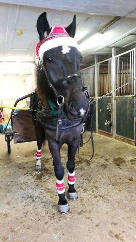 En julepyntet Odins Zamurai klar for treningstur før 3-åringen skal ut i Kaare Krosbys Minneløp på Momarken tredje juledag